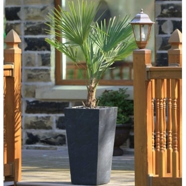 Chamaerops Tree With Black Tall Tapered Planter