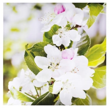 Apple Blossom Outdoor Canvas