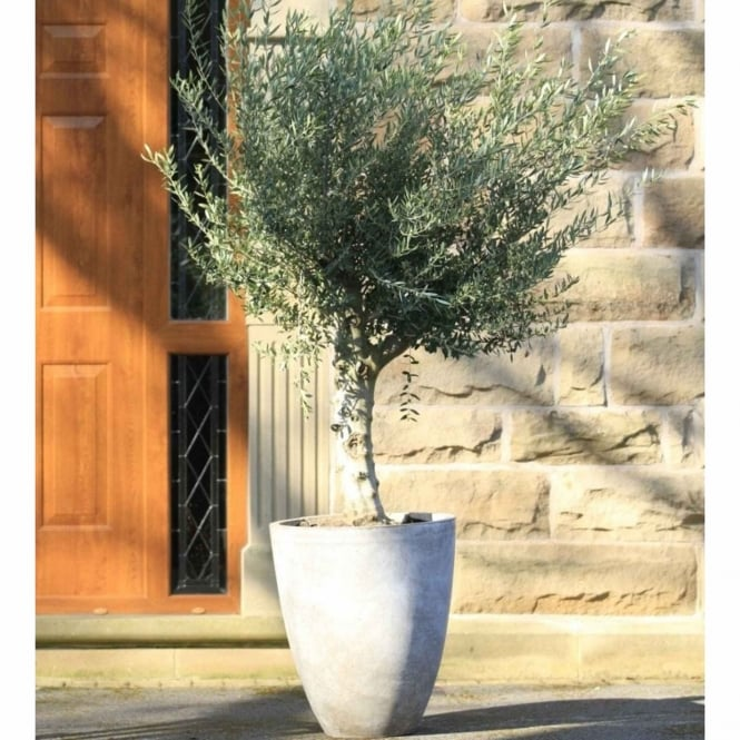 The Garden Feature Company Olive Tree With Sand Vase Planter